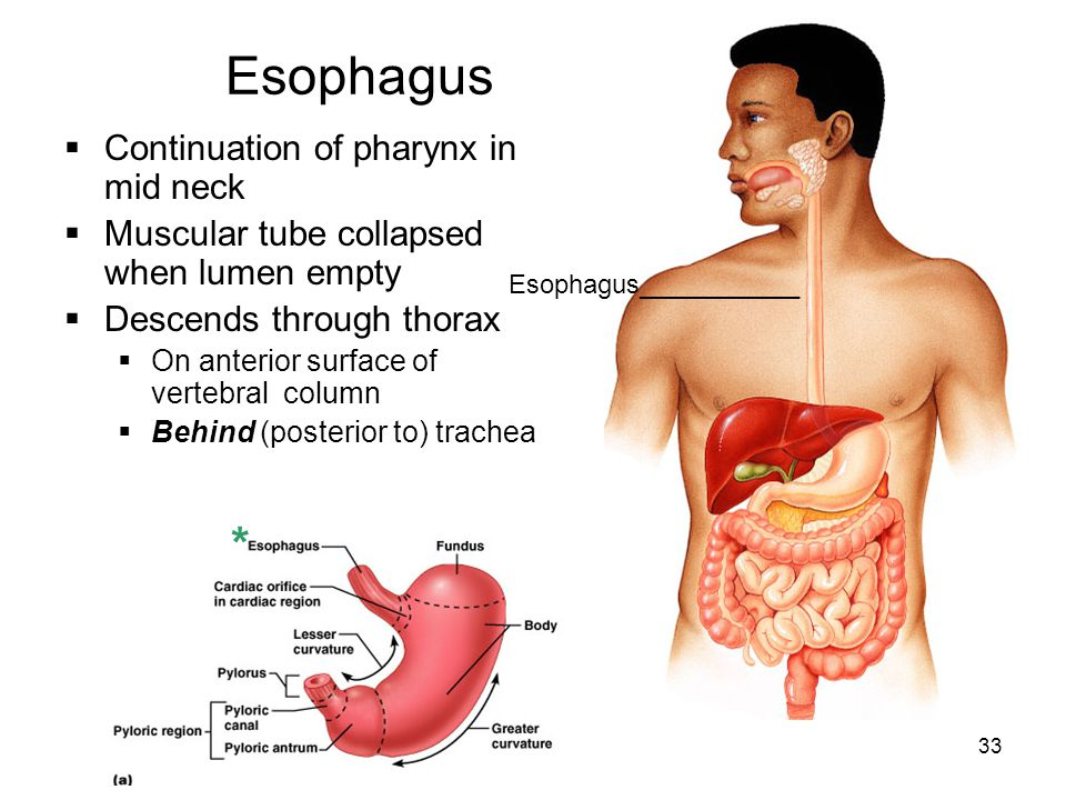 Esophagus * Continuation of pharynx in mid neck