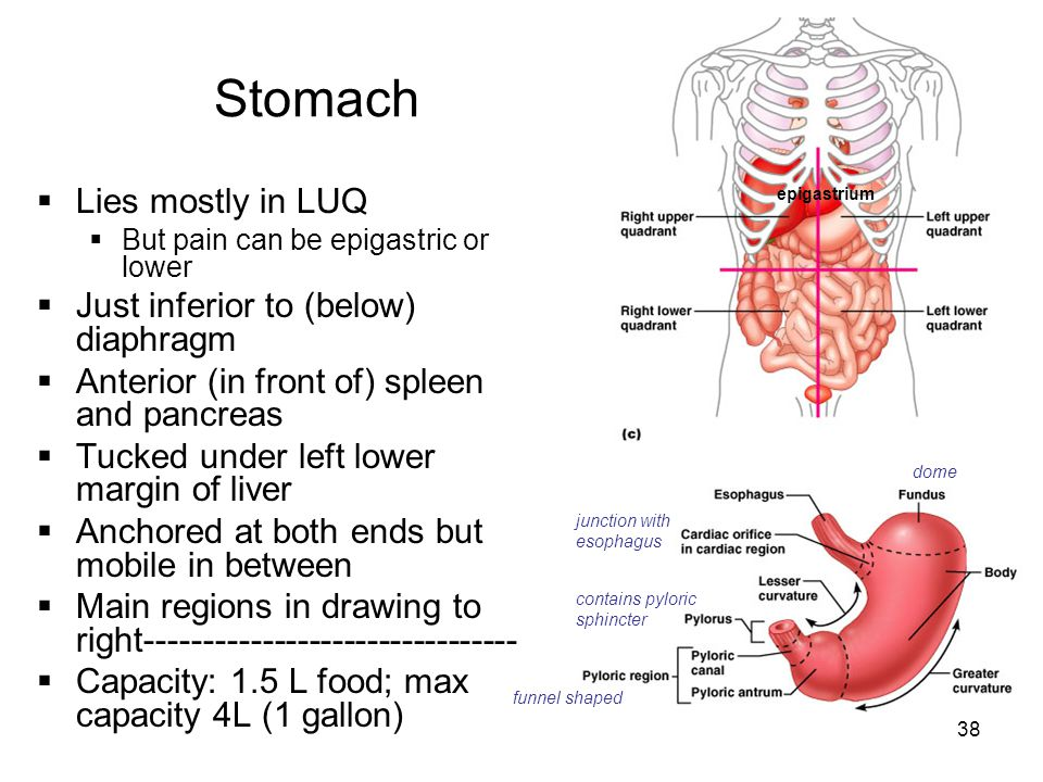 Stomach Lies mostly in LUQ Just inferior to (below) diaphragm