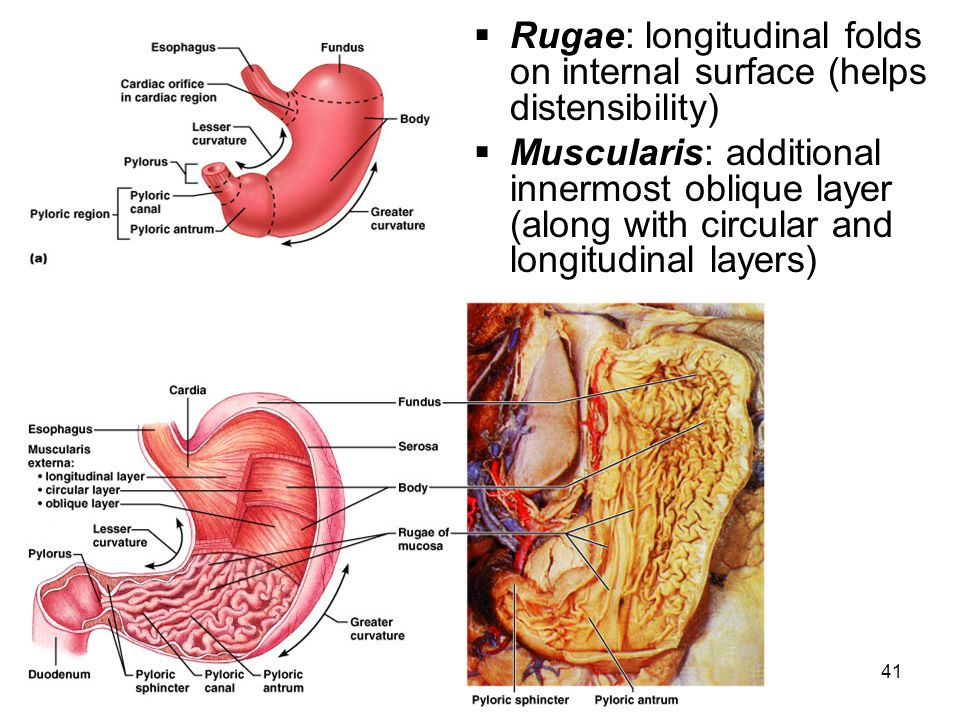 Rugae: longitudinal folds on internal surface (helps distensibility)
