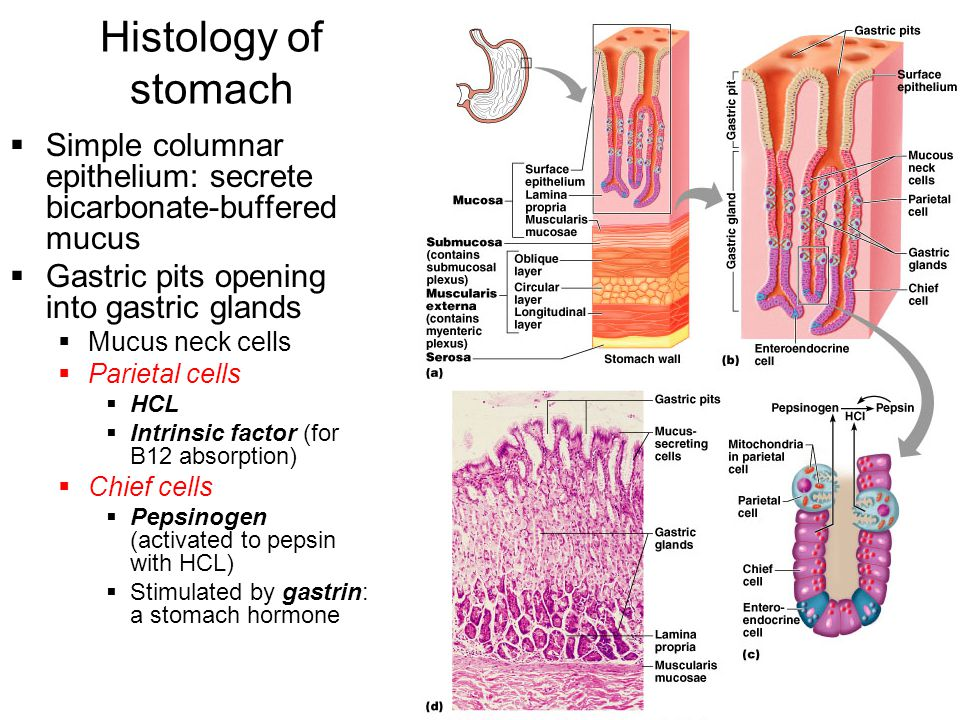 Histology of stomach Simple columnar epithelium: secrete bicarbonate-buffered mucus. Gastric pits opening into gastric glands.