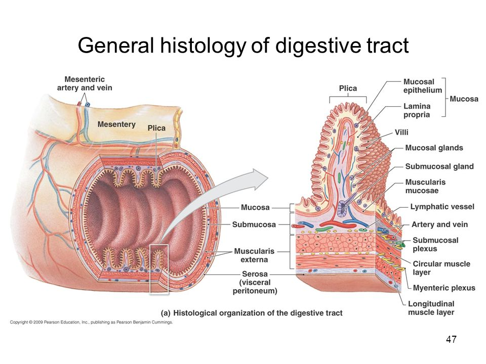 General histology of digestive tract