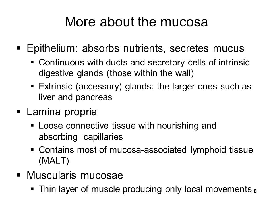 More about the mucosa Epithelium: absorbs nutrients, secretes mucus