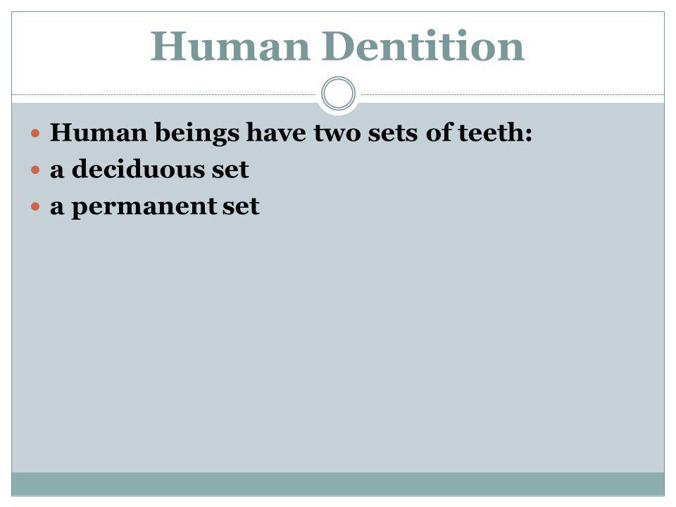 Human Dentition Human beings have two sets of teeth: a deciduous set