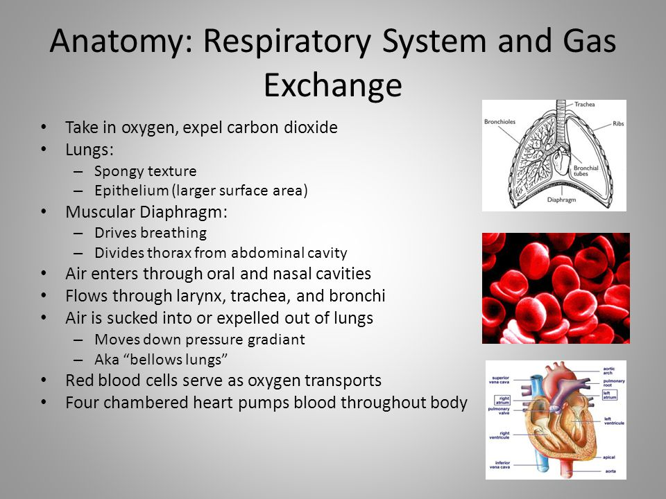 Anatomy: Respiratory System and Gas Exchange