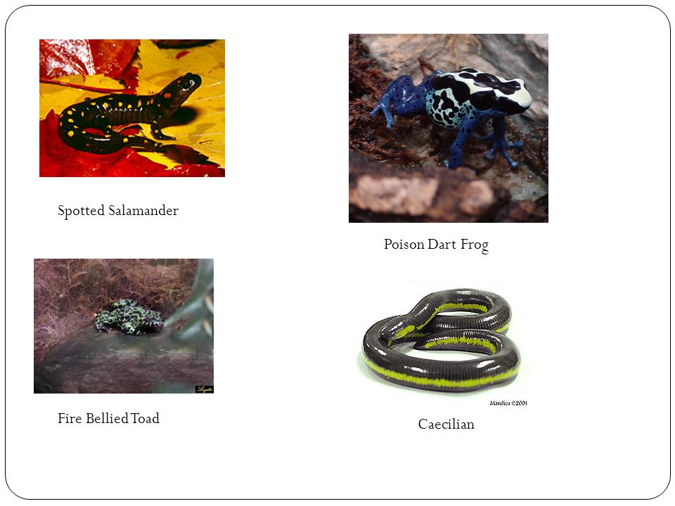 Spotted Salamander Poison Dart Frog Fire Bellied Toad Caecilian