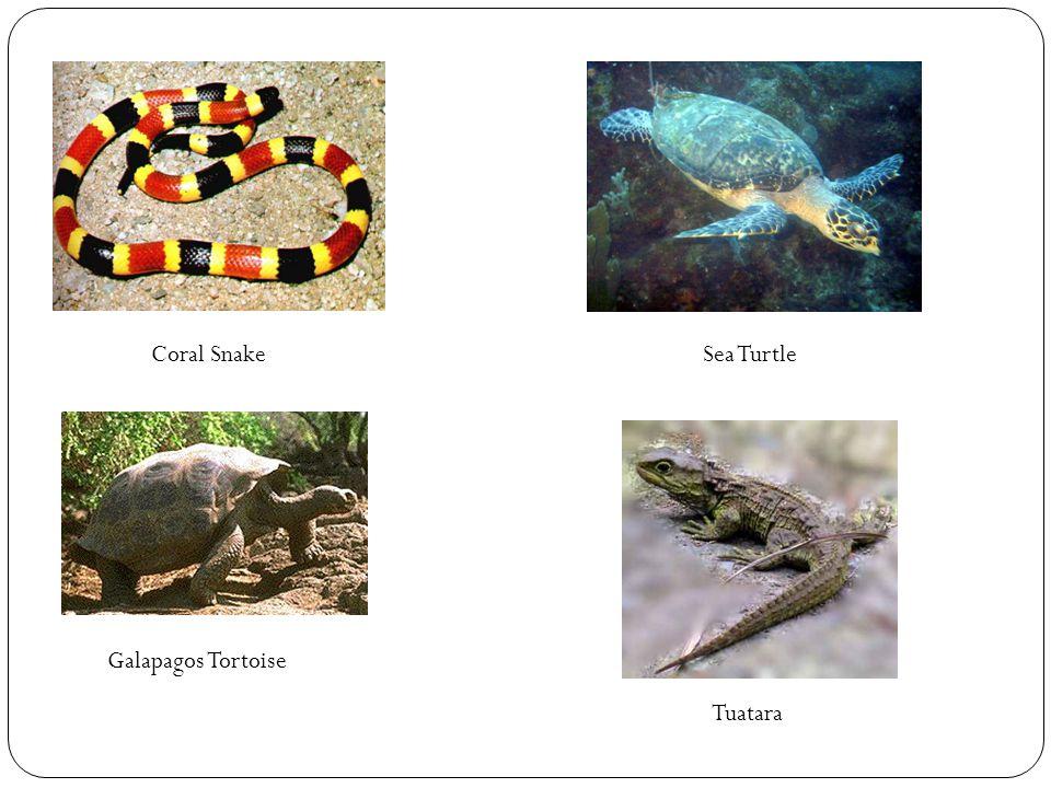 Coral Snake Sea Turtle Galapagos Tortoise Tuatara