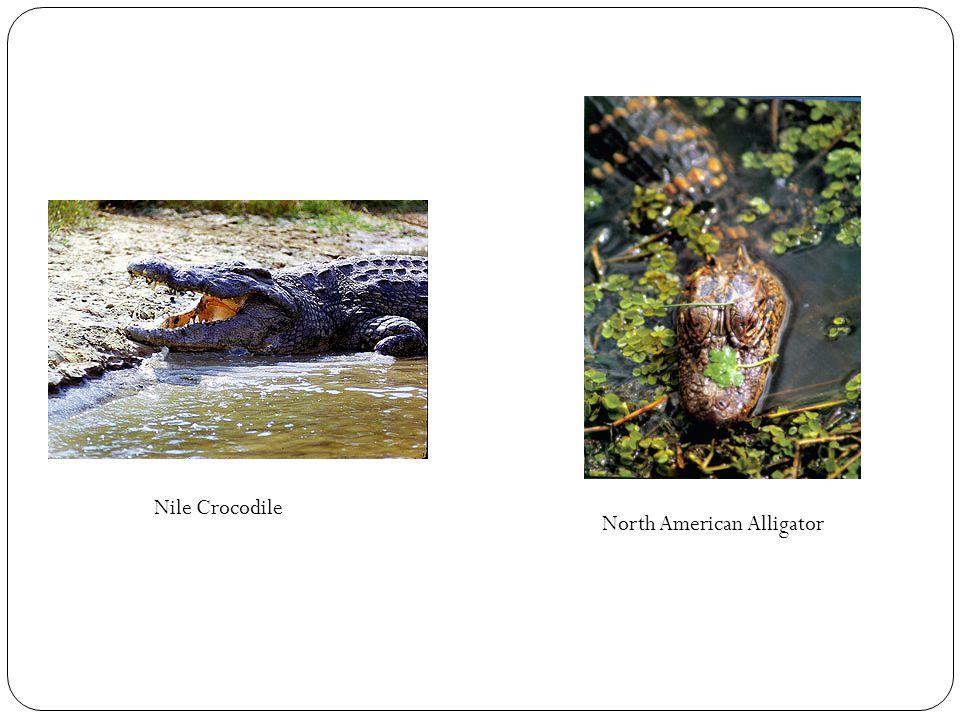 Nile Crocodile North American Alligator