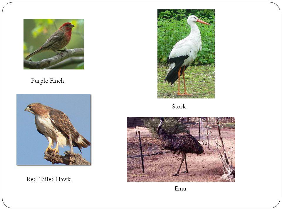 Purple Finch Stork Red-Tailed Hawk Emu