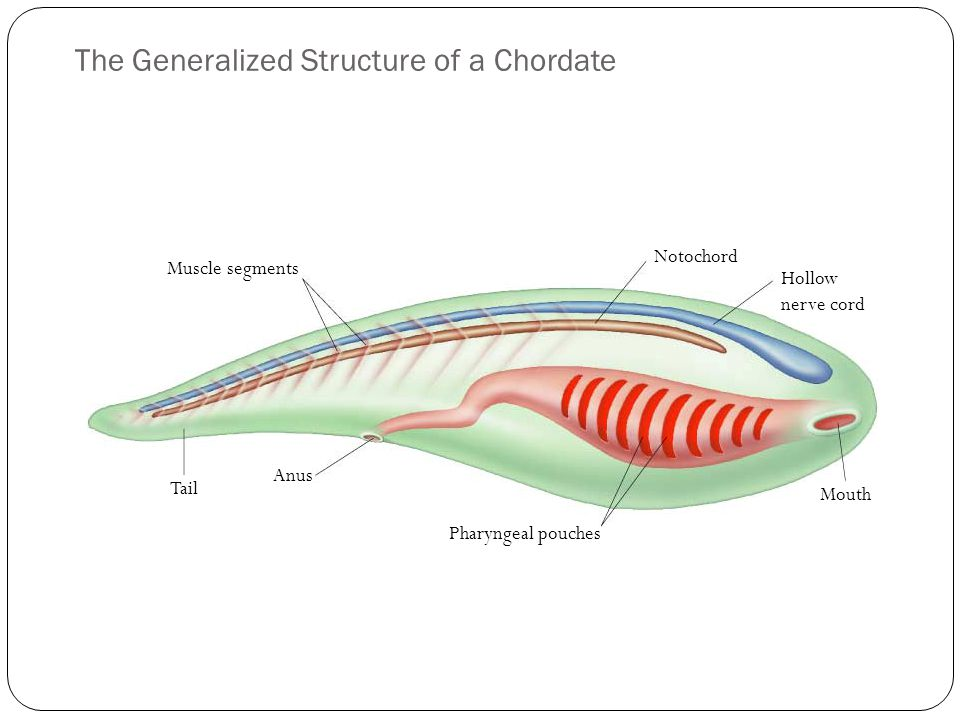 The Generalized Structure of a Chordate