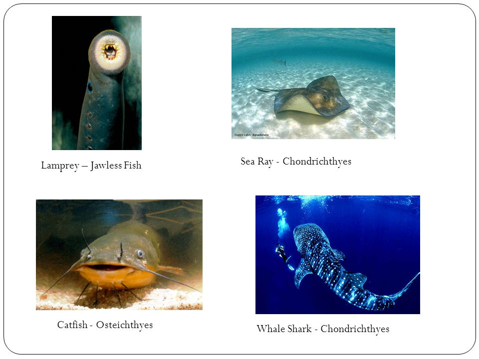 Sea Ray - Chondrichthyes
