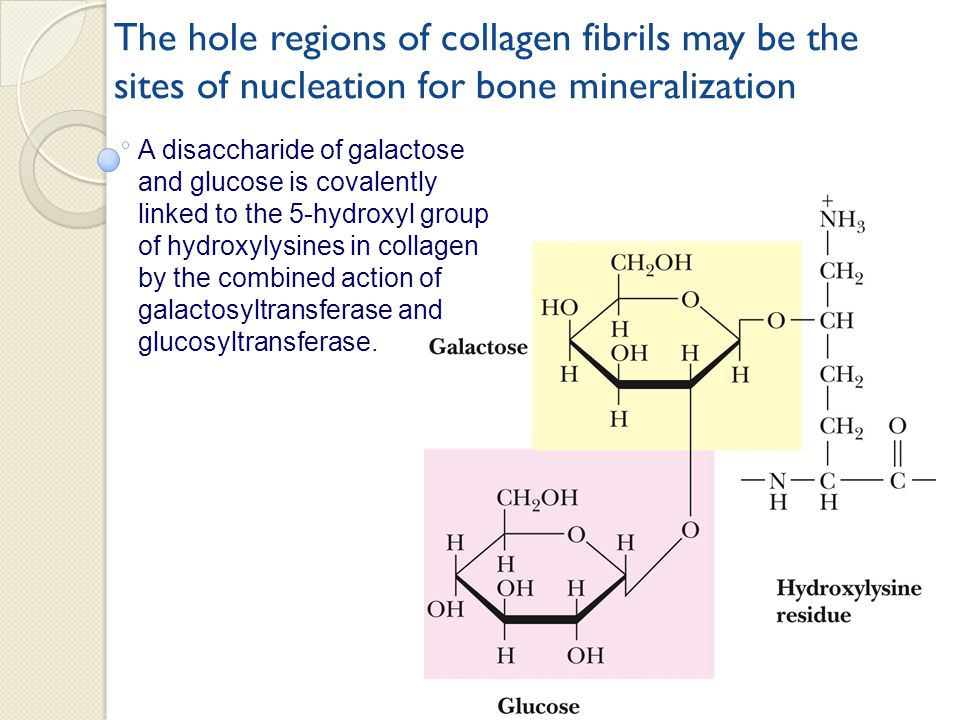 The hole regions of collagen fibrils may be the sites of nucleation for bone mineralization