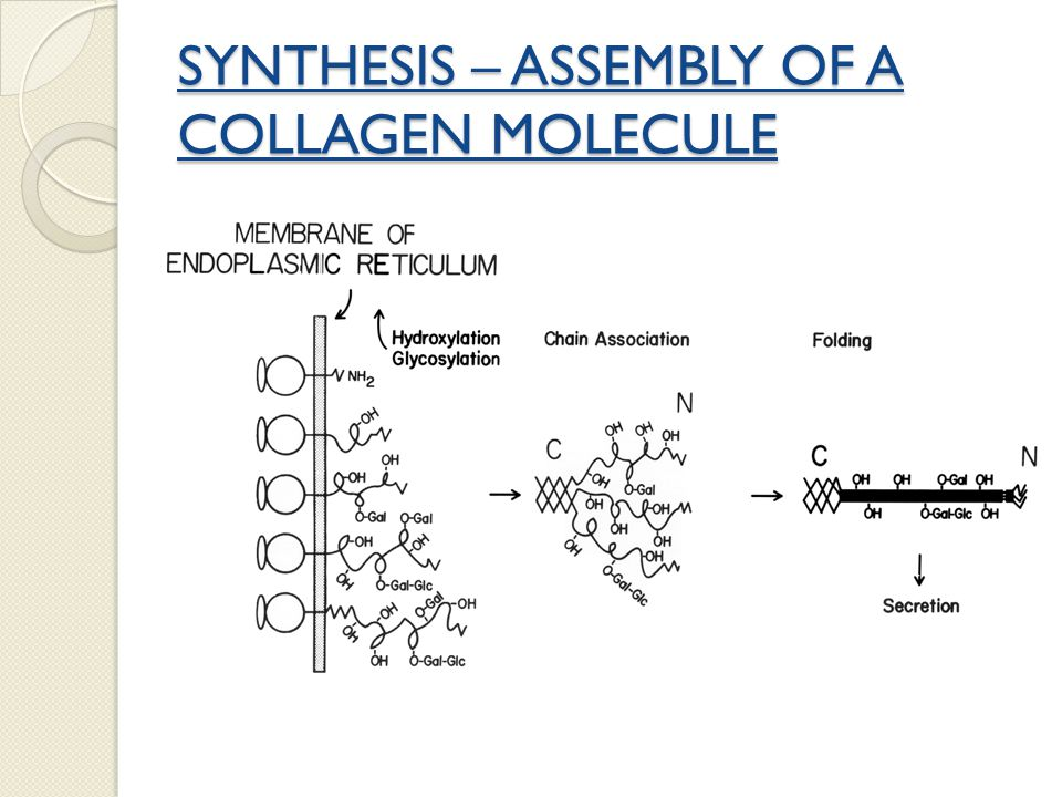 SYNTHESIS – ASSEMBLY OF A COLLAGEN MOLECULE