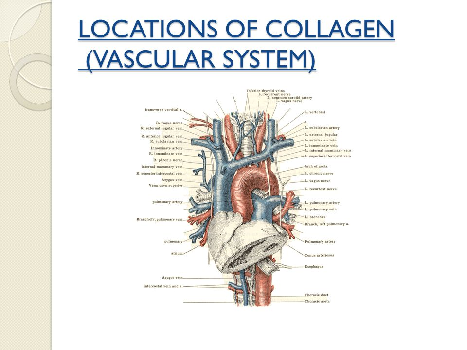LOCATIONS OF COLLAGEN (VASCULAR SYSTEM)