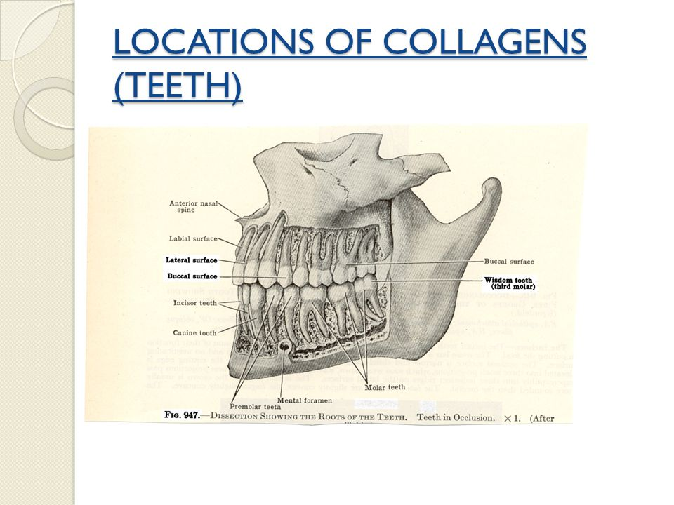 LOCATIONS OF COLLAGENS (TEETH)