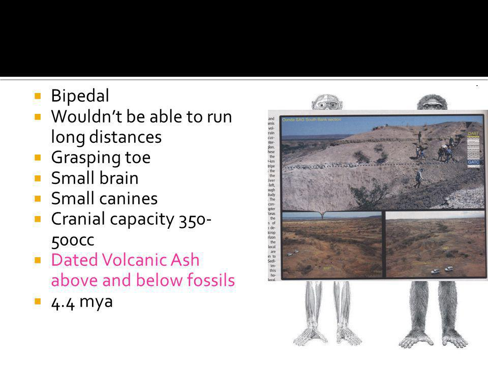 Bipedal Wouldn't be able to run long distances. Grasping toe. Small brain. Small canines. Cranial capacity cc.