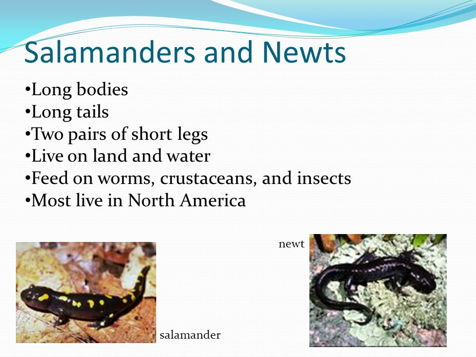 Salamanders and Newts Long bodies Long tails Two pairs of short legs