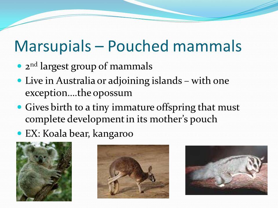 Marsupials – Pouched mammals