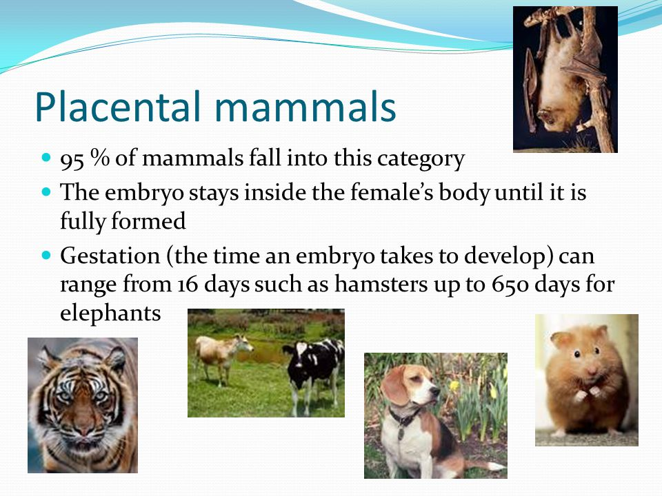 Placental mammals 95 % of mammals fall into this category
