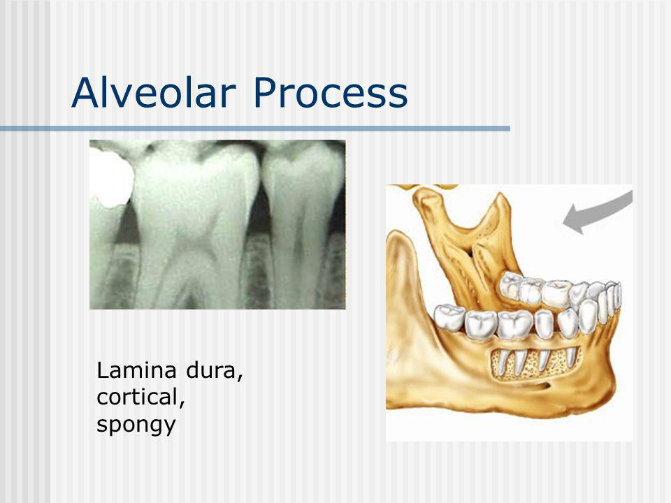 Alveolar Process Lamina dura, cortical, spongy