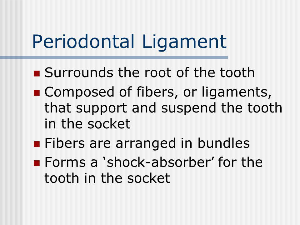 Periodontal Ligament Surrounds the root of the tooth