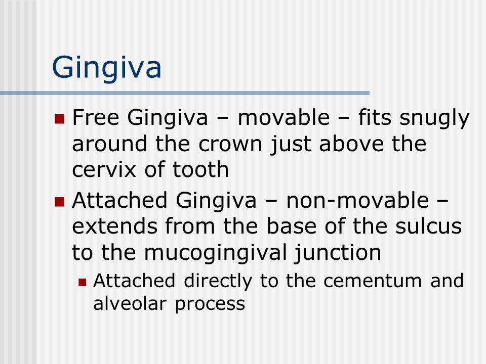 Gingiva Free Gingiva – movable – fits snugly around the crown just above the cervix of tooth.