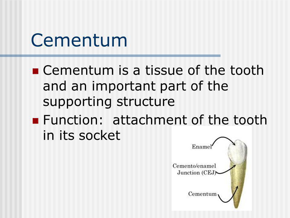 Cementum Cementum is a tissue of the tooth and an important part of the supporting structure.