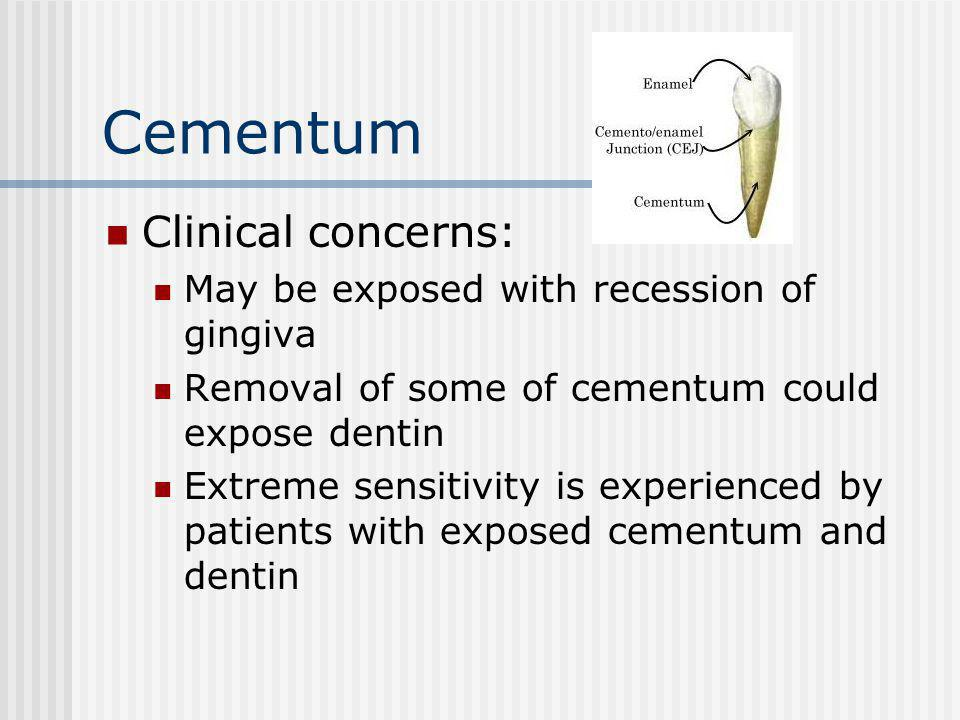 Cementum Clinical concerns: May be exposed with recession of gingiva