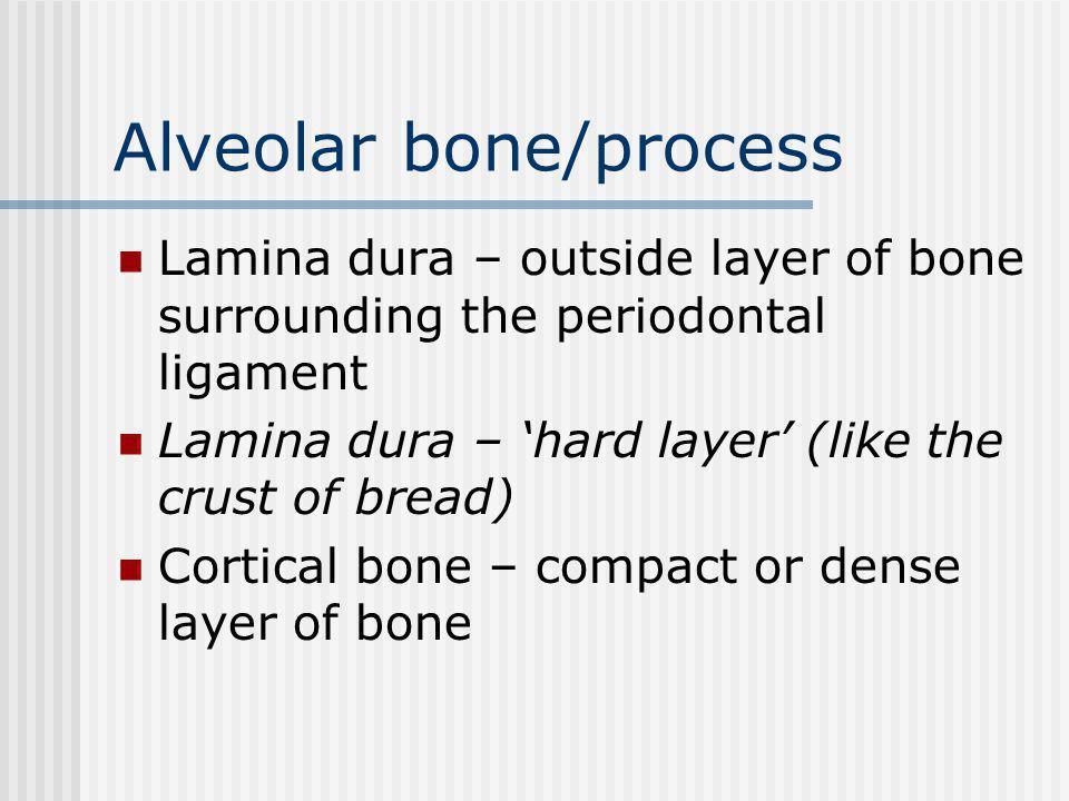 Alveolar bone/process