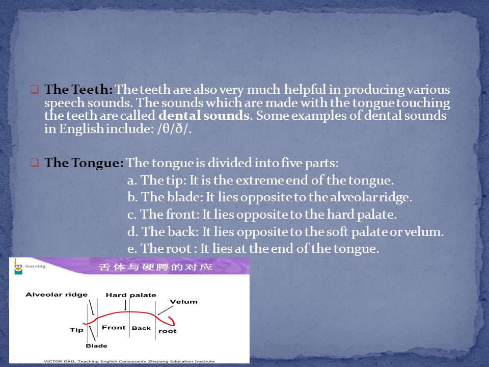 The Teeth: The teeth are also very much helpful in producing various speech sounds. The sounds which are made with the tongue touching the teeth are called dental sounds. Some examples of dental sounds in English include: /θ/ð/.