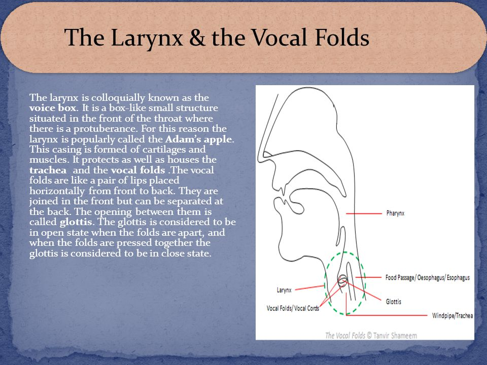 The Larynx & the Vocal Folds