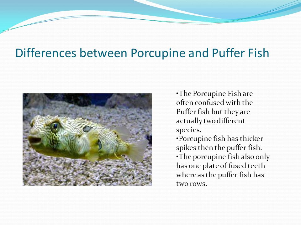 Differences between Porcupine and Puffer Fish