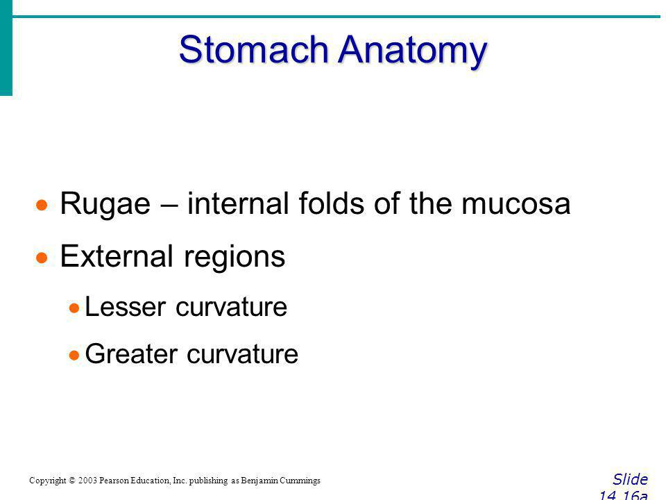 Stomach Anatomy Rugae – internal folds of the mucosa External regions
