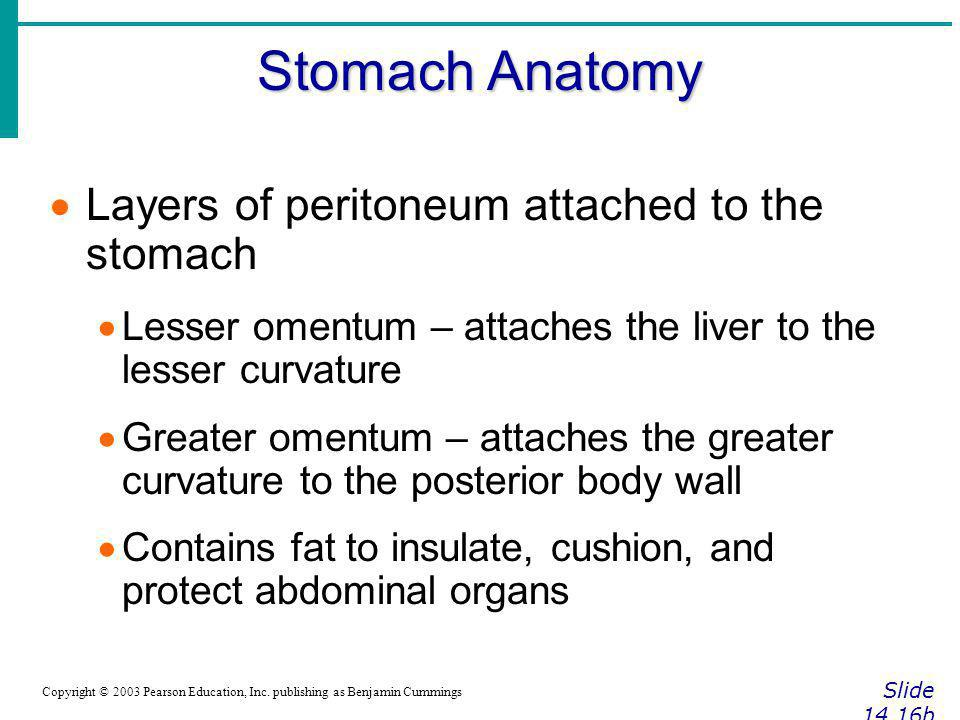 Stomach Anatomy Layers of peritoneum attached to the stomach