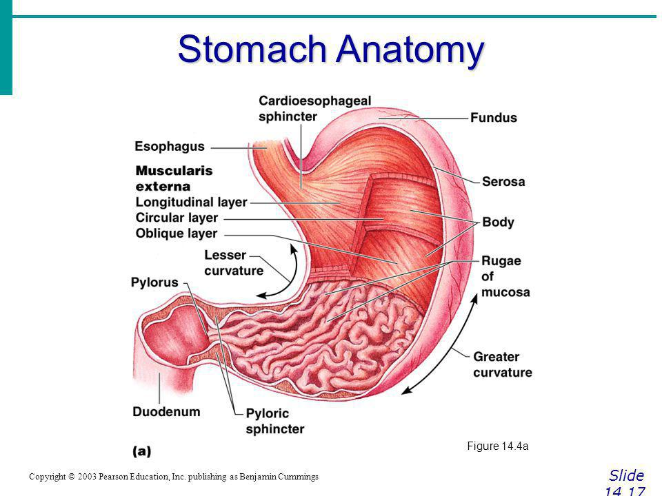 Stomach Anatomy Slide Figure 14.4a