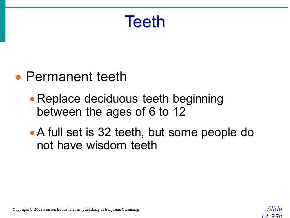 Teeth Permanent teeth. Replace deciduous teeth beginning between the ages of 6 to 12.