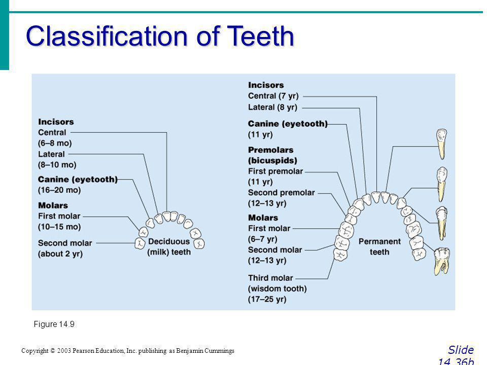 Classification of Teeth