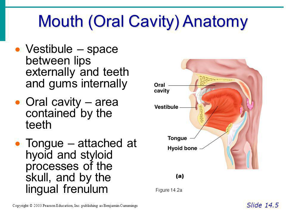 Mouth (Oral Cavity) Anatomy