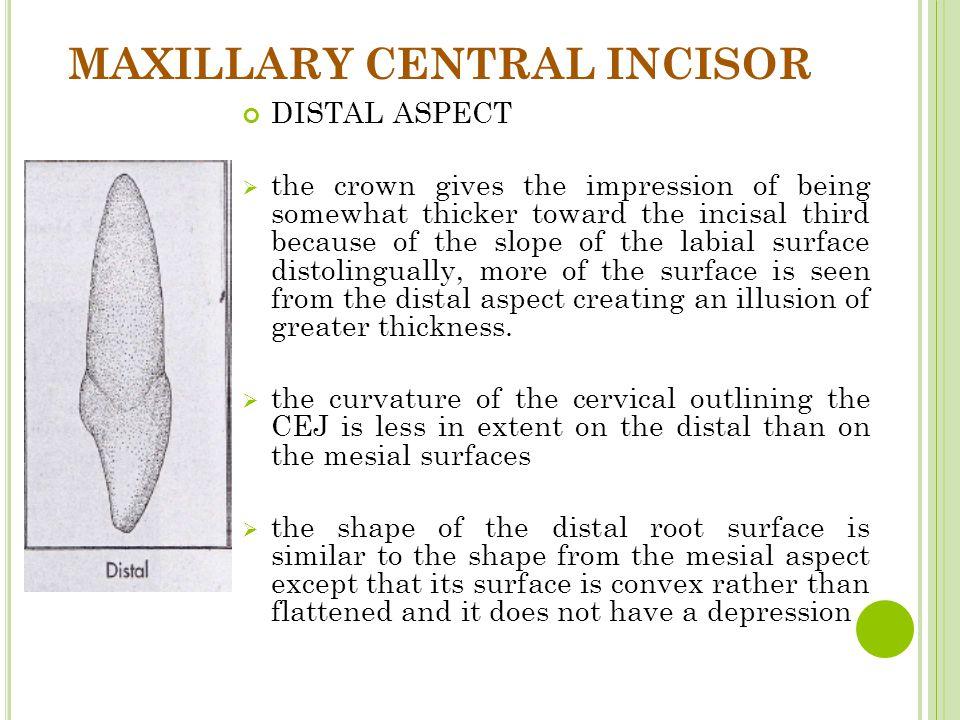 MAXILLARY CENTRAL INCISOR