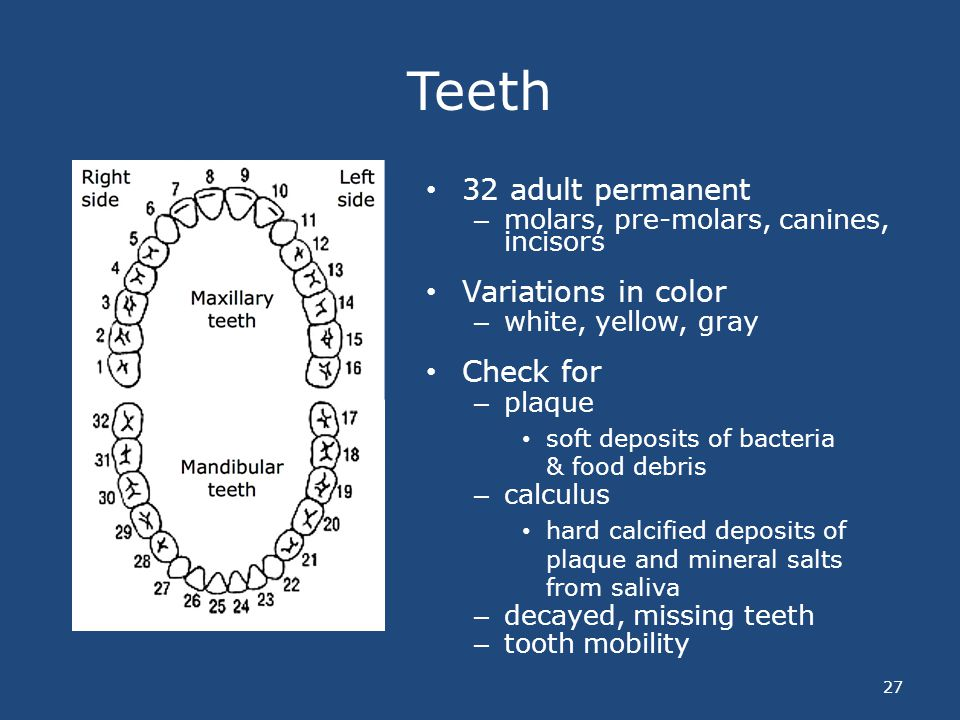 Teeth 32 adult permanent Variations in color Check for