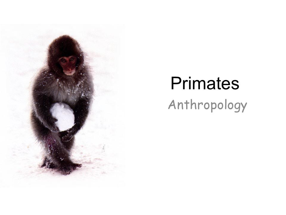 Primates Anthropology