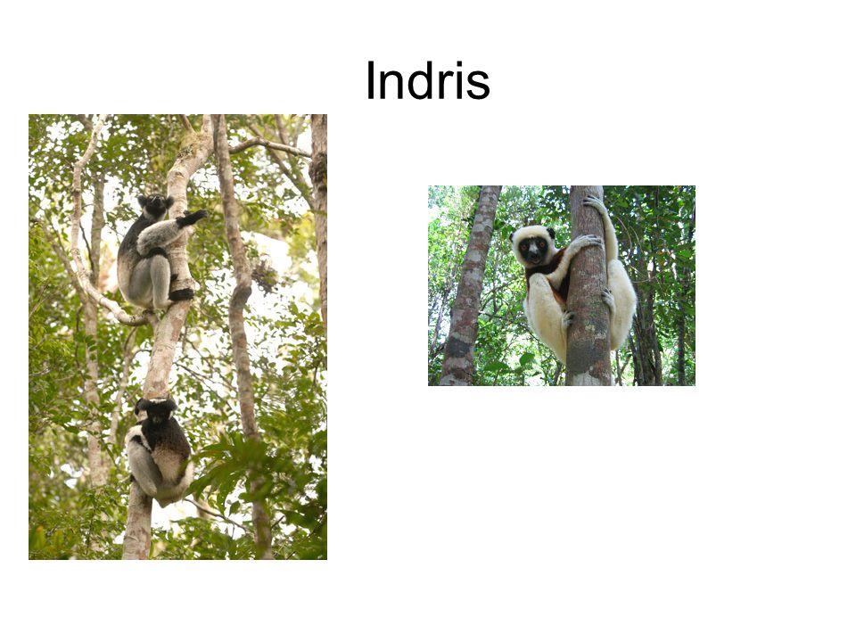 Indris