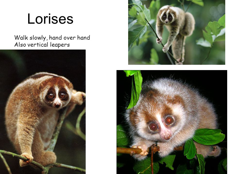 Lorises Walk slowly, hand over hand Also vertical leapers