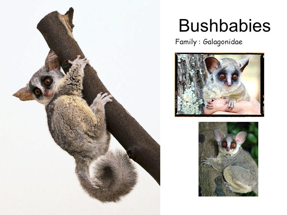 Bushbabies Family : Galagonidae