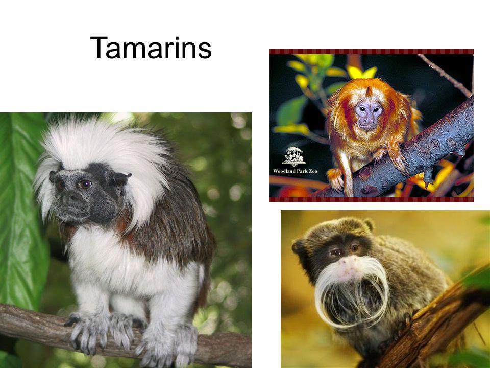 Tamarins