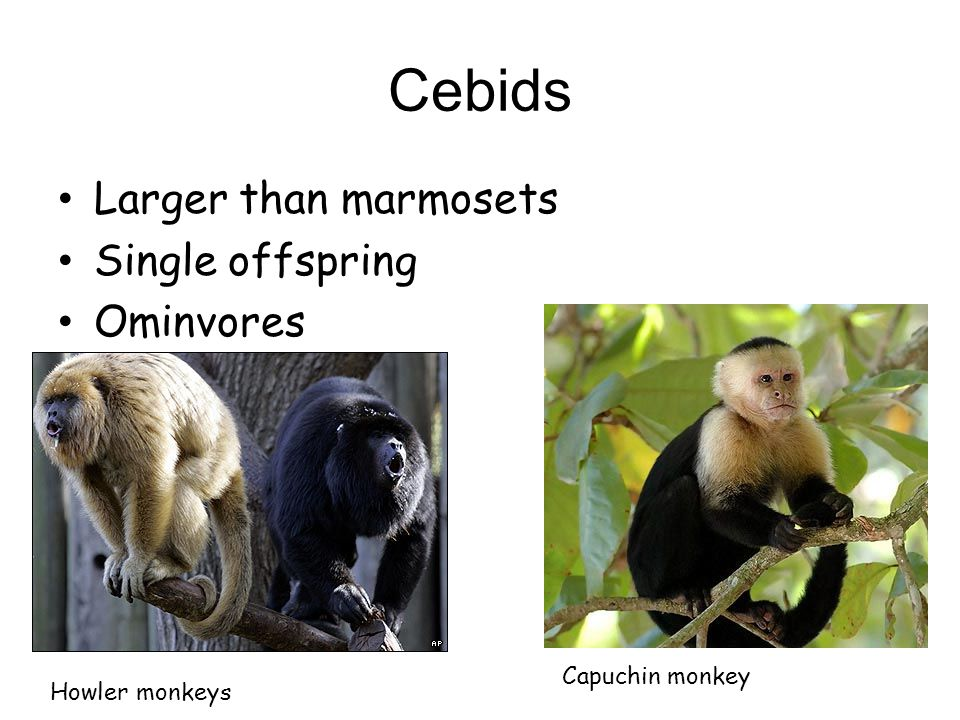 Cebids Larger than marmosets Single offspring Ominvores