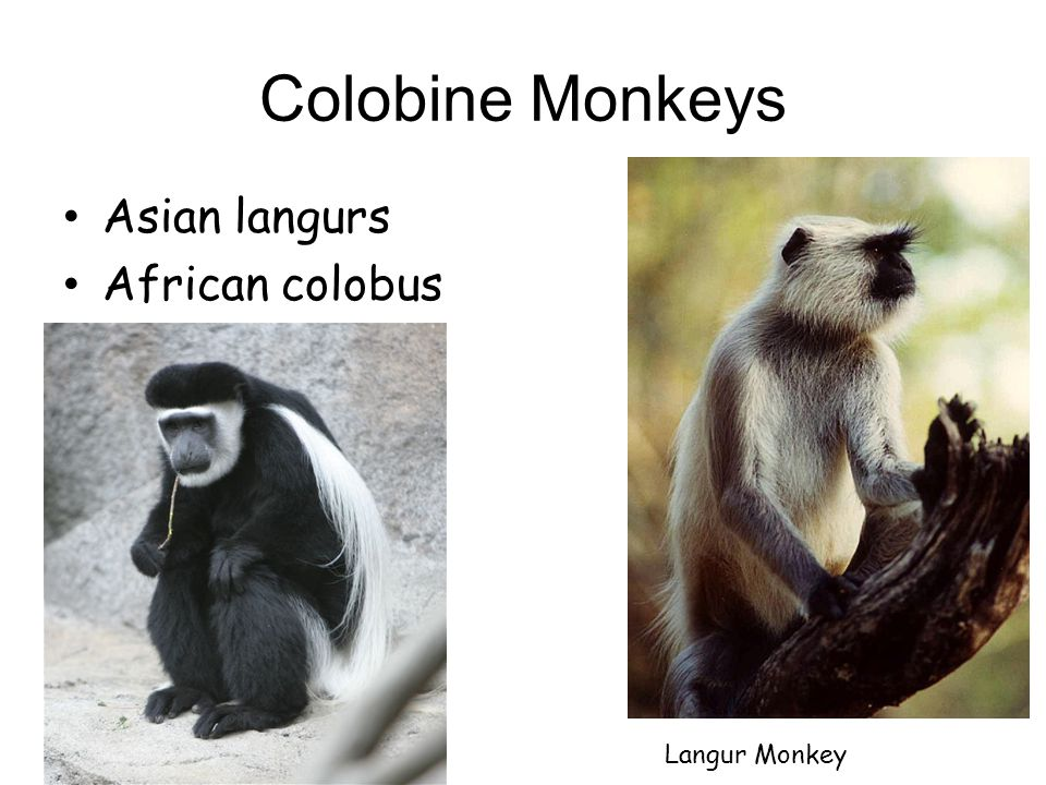 Colobine Monkeys Asian langurs African colobus Langur Monkey