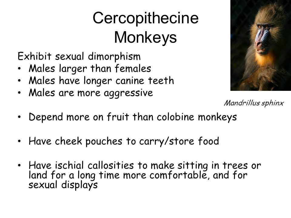 Cercopithecine Monkeys
