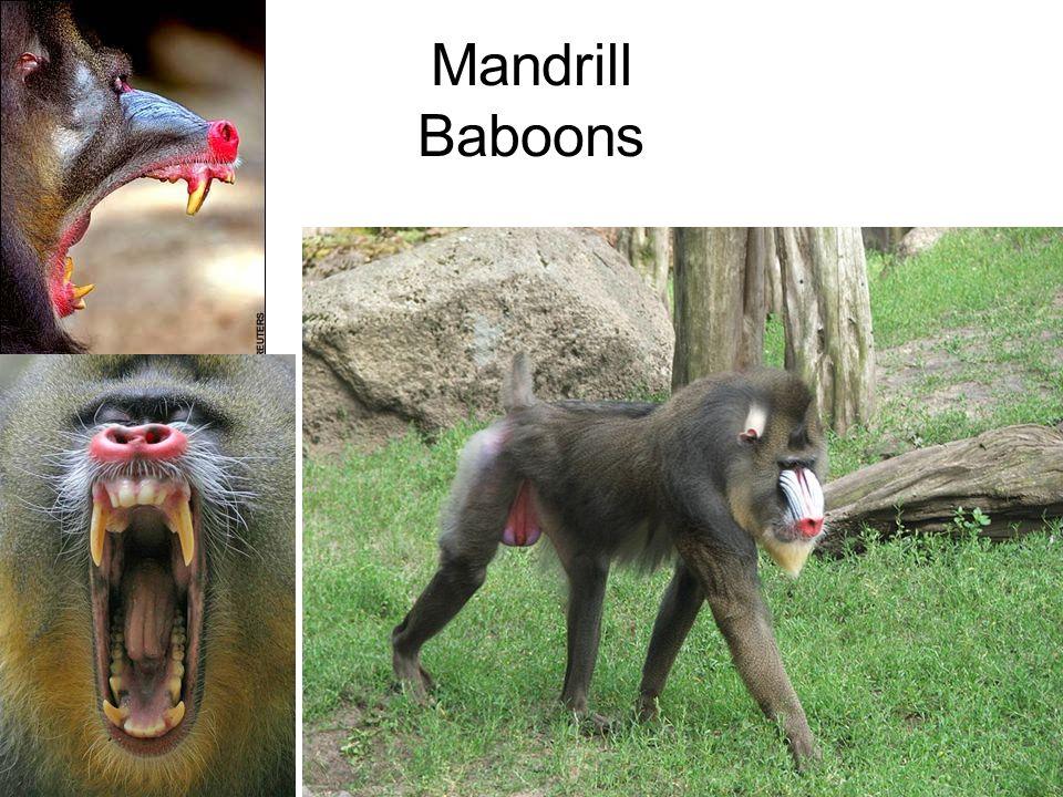 Mandrill Baboons