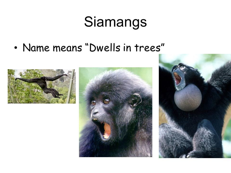 Siamangs Name means Dwells in trees