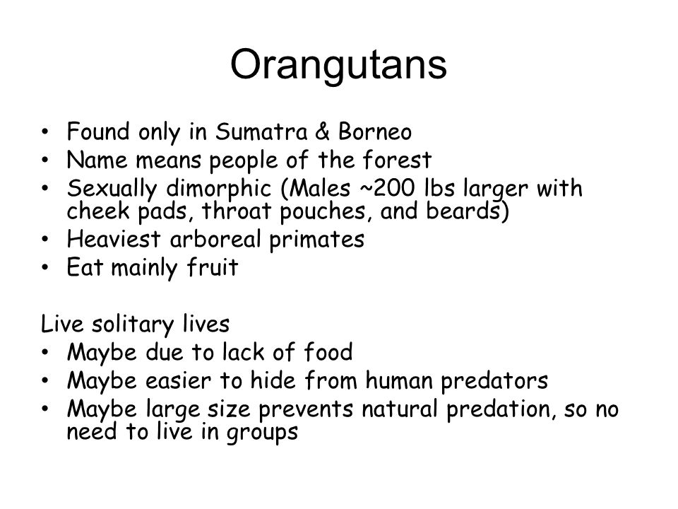 Orangutans Found only in Sumatra & Borneo